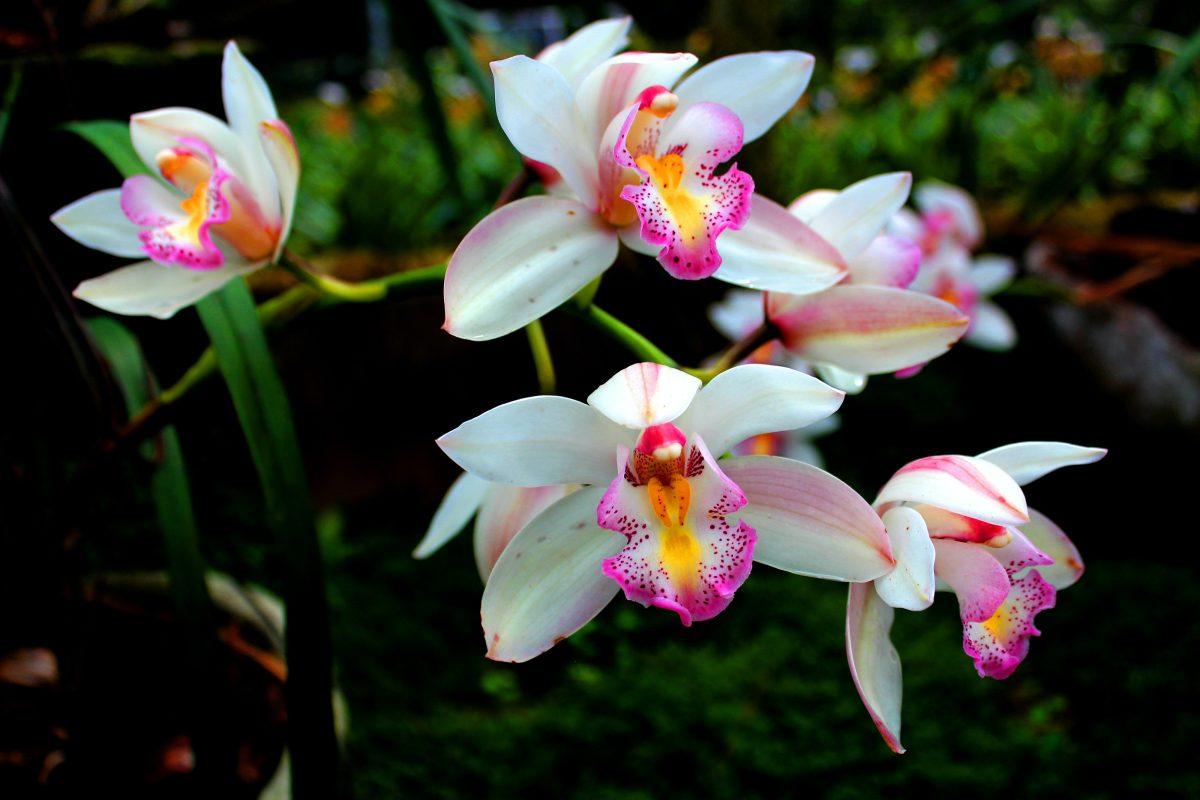 Zgodovina orhidej